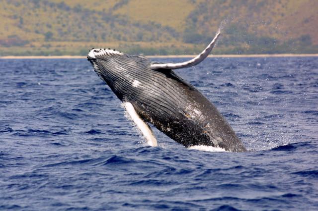 humpback whale_large