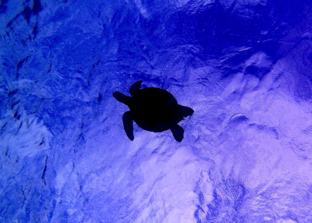 Sea Turtle Above