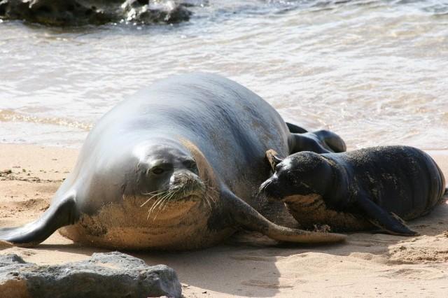 Monk Seals on Beach