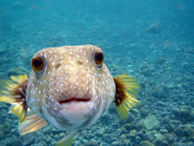 Puffer fish are common catches in the aquarium trade.