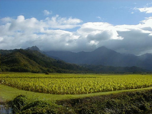 A taro field in Hanalei, Kauai. A study of pesticide use and impacts on the island is sparking controversy among growers, which include some of the largest multinational companies in agribusiness.