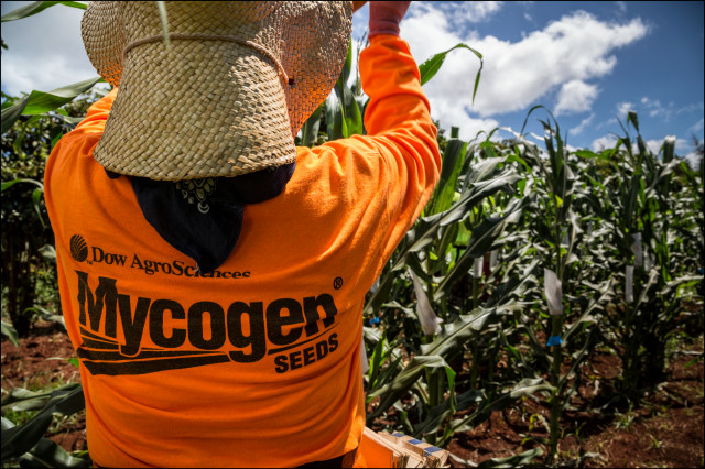 EMBARGOED FOR MOLOKAI 7.14.14 Molokai Mycogen field workers pollinate corn on July 2, 2014.