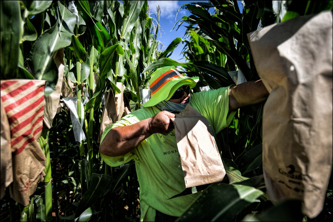 Monsanto Molokai field worker pollinates corn on July 3, 2014.