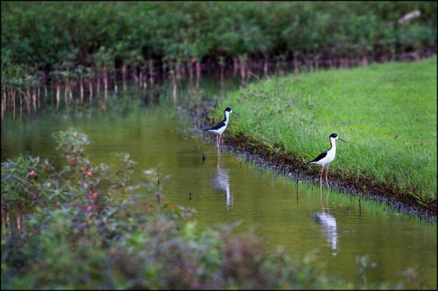 Kawainui Marsh Kailua Endangered Birds
