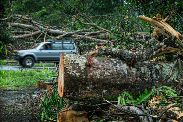 Residents drive through the middle of downed and cut trees in the Paradise Park section of Puna on August 12, 2014.