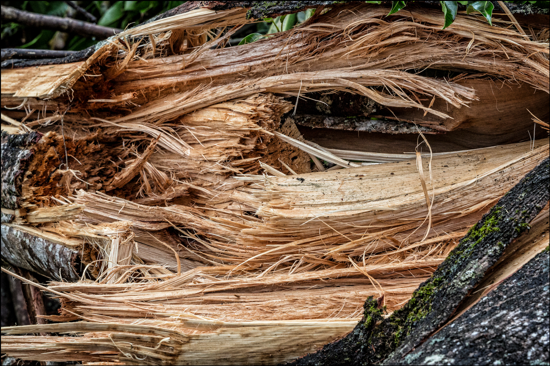 Detail of a tree snapped in half by the force of Tropical Storm Iselle in the Nanawale Estates subdivision. Thousands of trees, especially albizias, lay on streets, driveways and power lines, in some cases for days after the storm.