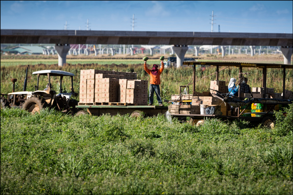 A worker at Aloun Farms holds up freshly picked watermelons near construction of the HART rail project in Kapolei on August 28, 2014. This land is the future site of the Hoopili housing development.