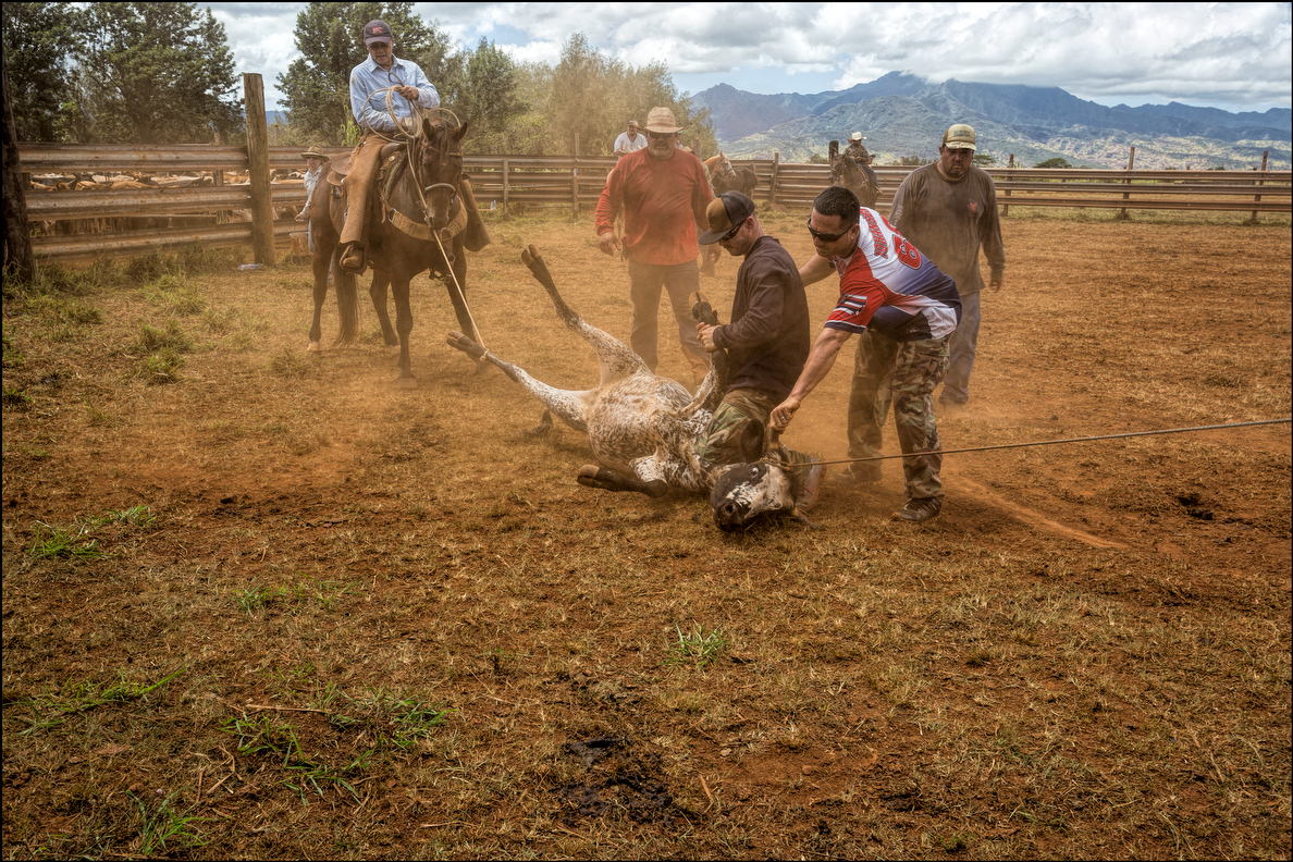 After roping the calf, the crew moves in to get the bull calf on its side.