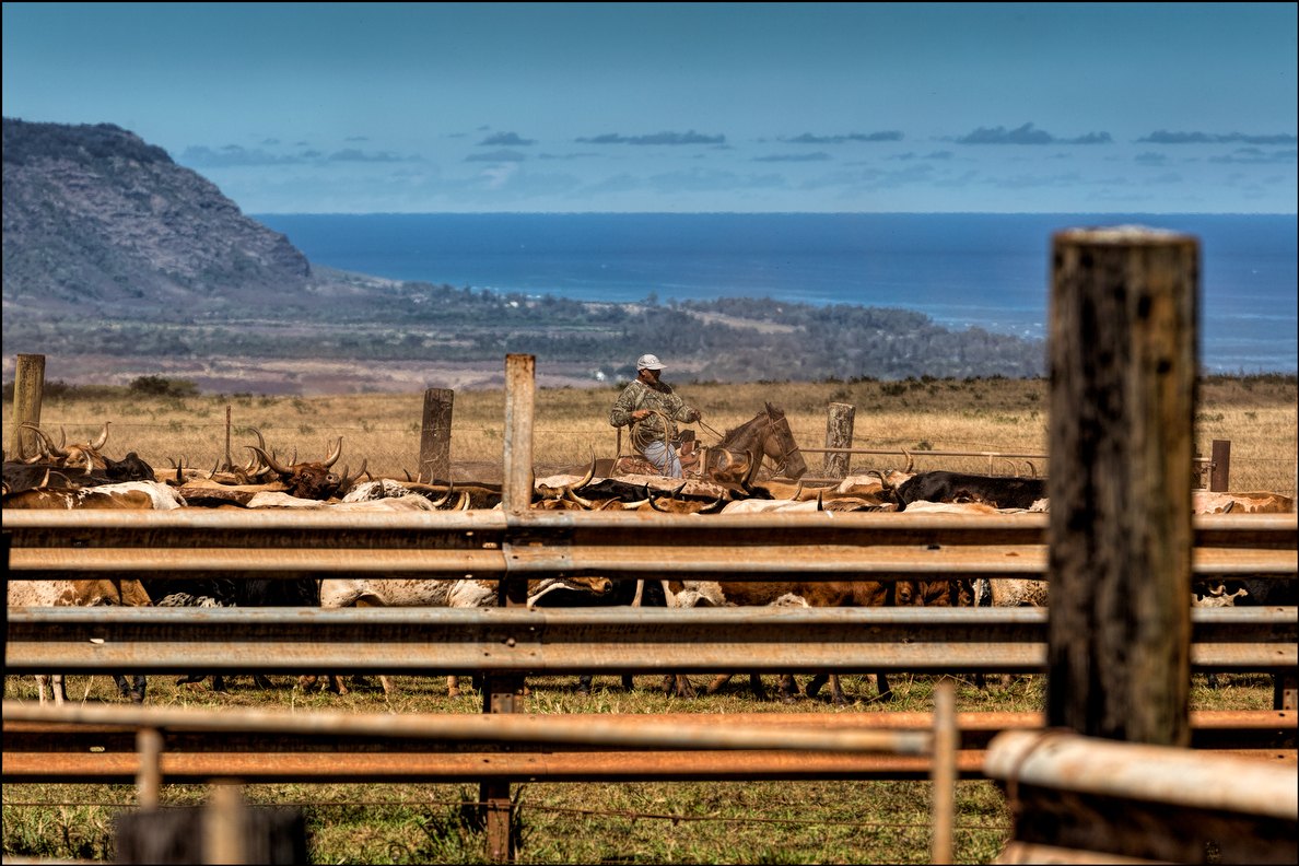 Oahu's cowboys have a sweeping view of the North Shore from Maukele Ranch.