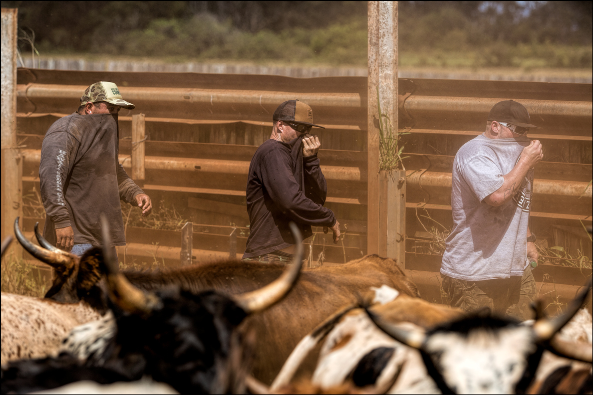 Bull roping is hot and dusty work.