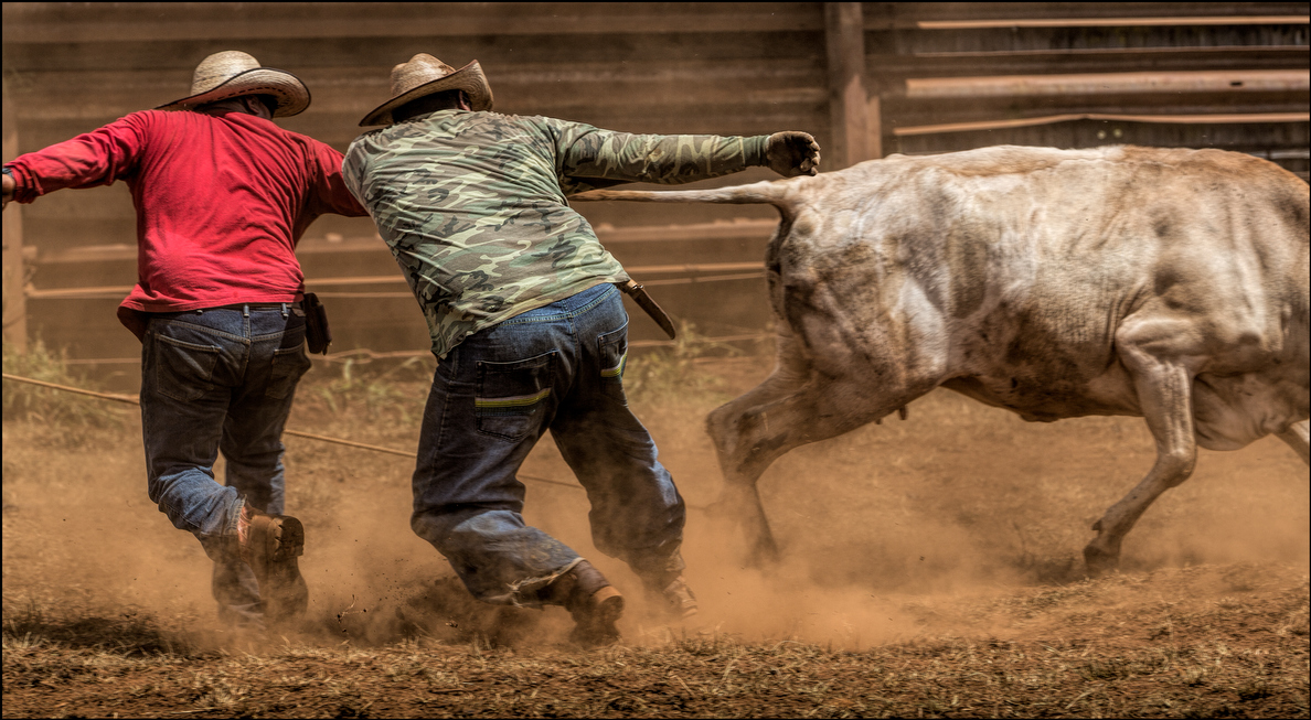 Sometimes the calf fights back and the paniolos just have to get out of the way.