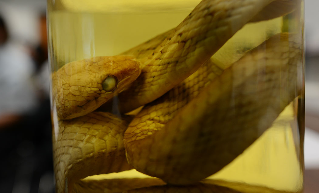There aren't supposed to be any snakes in Hawaii, but being where they don't belong is what invasive species like the brown tree snake are all about.
