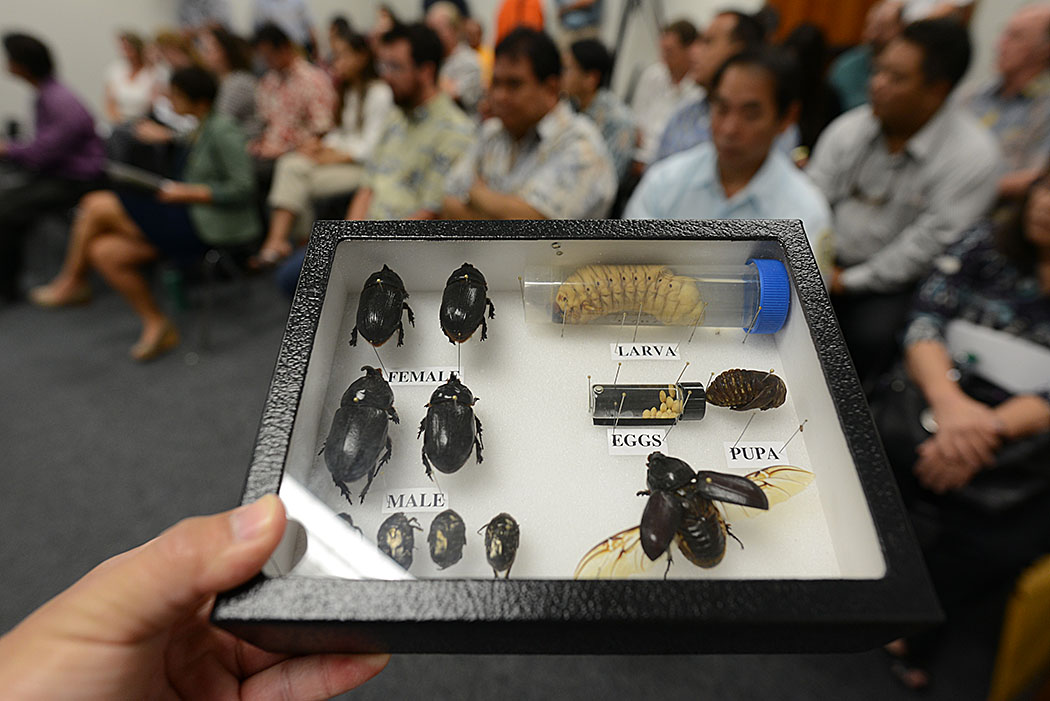 Some Pacific islands have lost 50 percent of their coconut trees to the rhinoceros beetle, which has been found recently at various locations on Oahu.