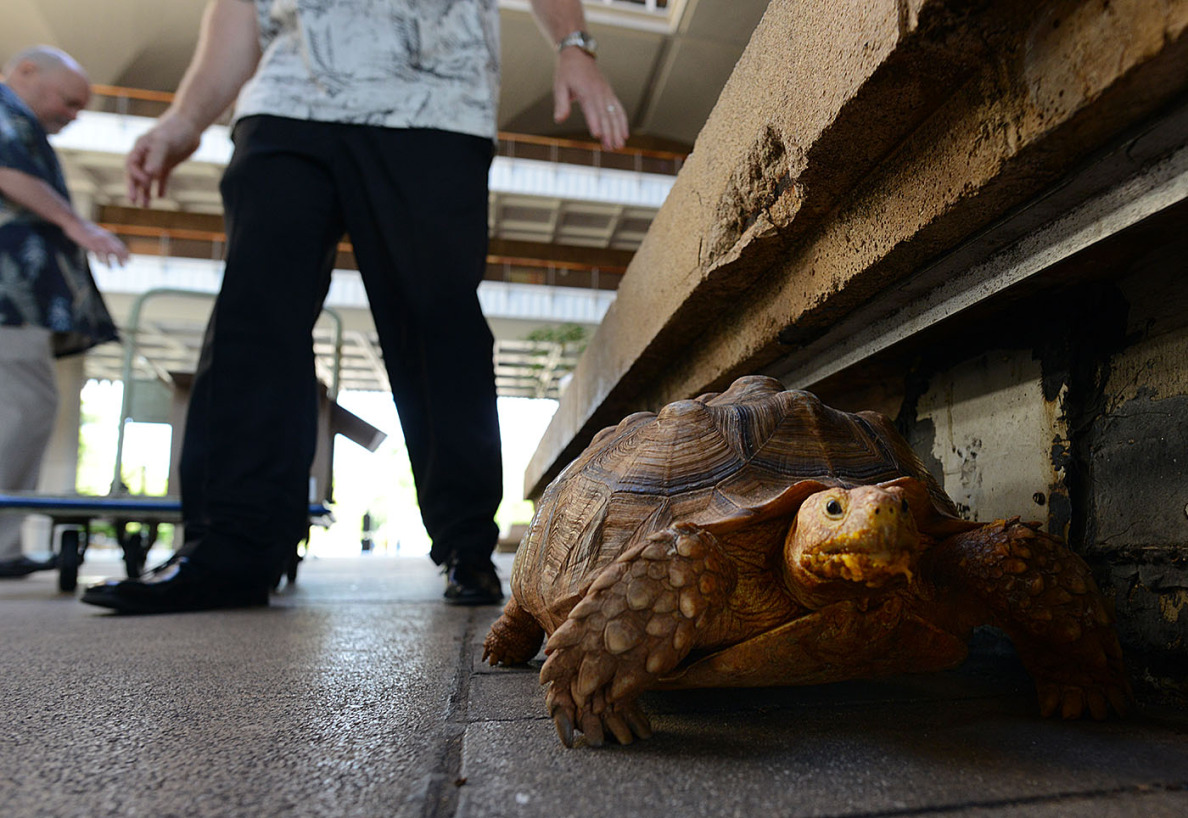 A tortoise discovered recently in a Kaneohe driveway was an unexpected addition to the scene at the Capitol on Tuesday.