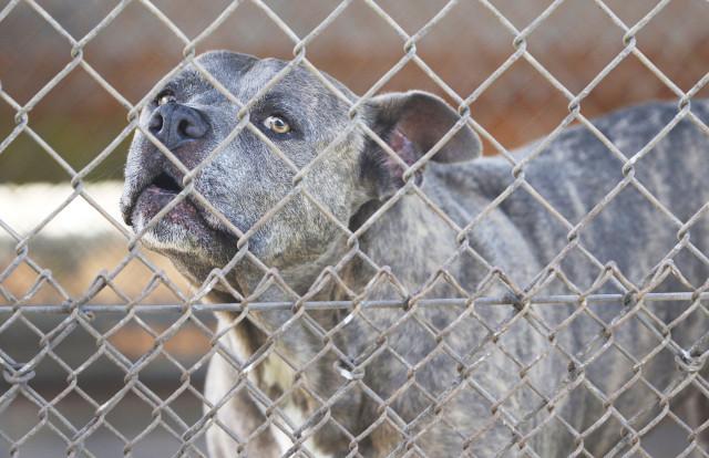 A dog at the animal Quarantine stares thru their fencing.  Halawa Valley .15 may 2015. photograph Cory Lum/Civil Beat