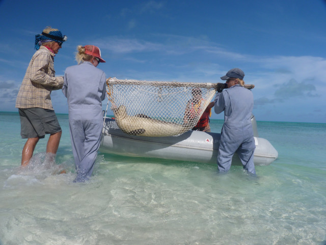 A NOAA research team transports monk seal Ena'Ena into a small boat.