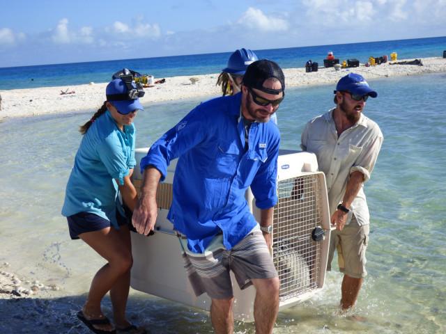 A NOAA team moves monk seals to a pen in the Northwestern Hawaiian Islands.