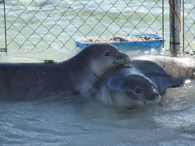 Pearl and Hermes settling into their new temporary holding in the Northwestern Hawaiian Islands.