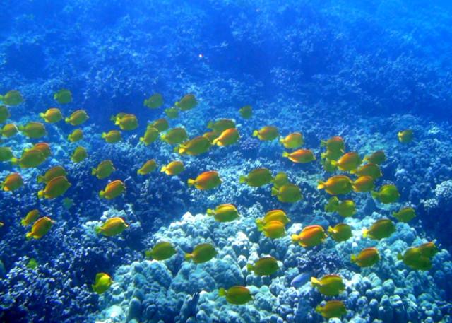 A school of yellow tang swim in Honaunau Bay off of the western coast of Big Island.