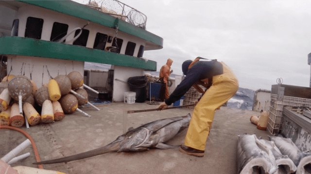 A fisheries observer measures a swordfish caught on a longline vessel working out of Hawaii.