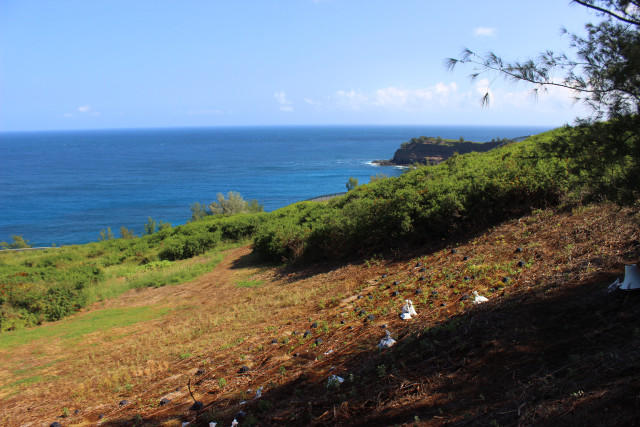 The Hawaiian petrel chicks were tucked into their new nests at Kilauea Point National Wildlife Refuge.