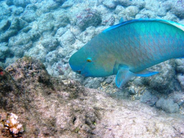 An uhu, or parrotfish, swims in Hanauma Bay.