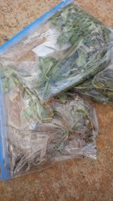 Bagged samples of the noxious weed from a tour through Waimea, Kekaha and Mana.