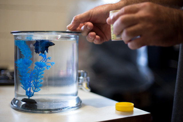 Robert Binnie's companion in his apartment is a blue beta fish.