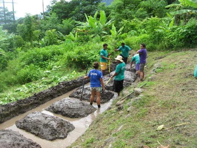 Students involved in Kupu's Community U program work on a taro lo'i.