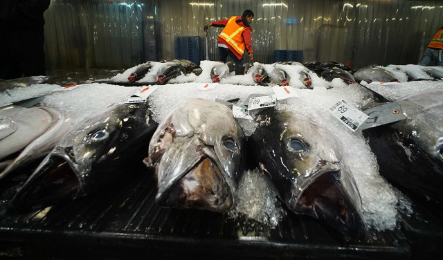 Honolulu Fish Auction starts after a bell rings in the distance. Bidders crowd around touching small filet of each fish examining the quality. Some evening smelling the small ahi filets. 14 dec 2015. photograph Cory Lum