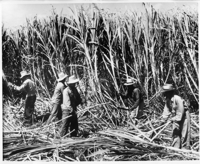 Workers toil at Alexander & Baldwin's sugar plantation on Maui.