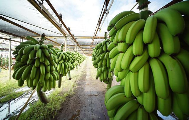 Richard Ha farm Big Island Banana. 1 july 2015. photograph Cory Lum/Civil Beat