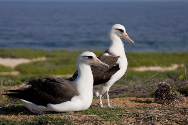 Laysan albatrosses at Kaena Point.