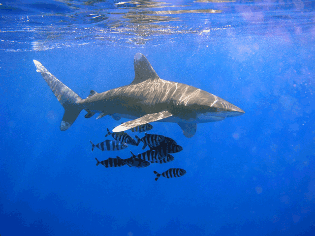 The National Marine Fisheries Service is considering whether the oceanic whitetip shark needs to be protected as an endangered species.