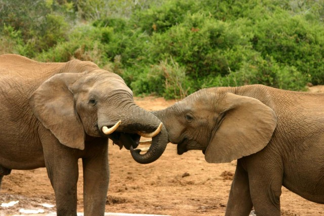African elephants like these are being driven to the edge of extinction by poachers who kill them solely for their tusks. Two bills before the Hawaii Legislature would ban the sale of those tusks or products made from them.