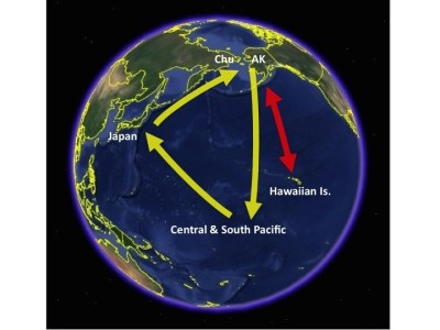 Pacific golden plover flight routes.
