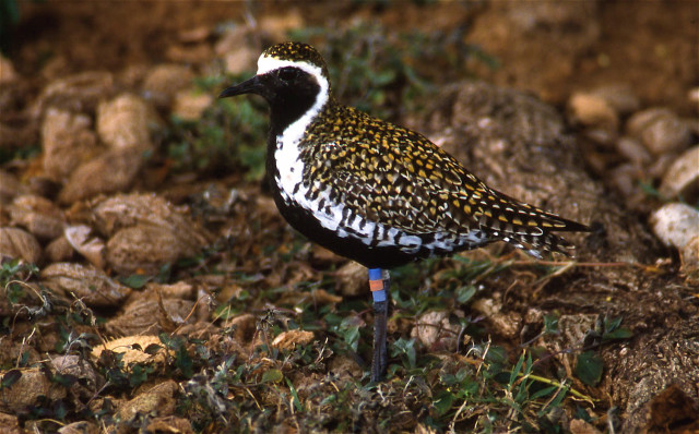 A male Pacific golden plover with breeding plumage — and leg bands.