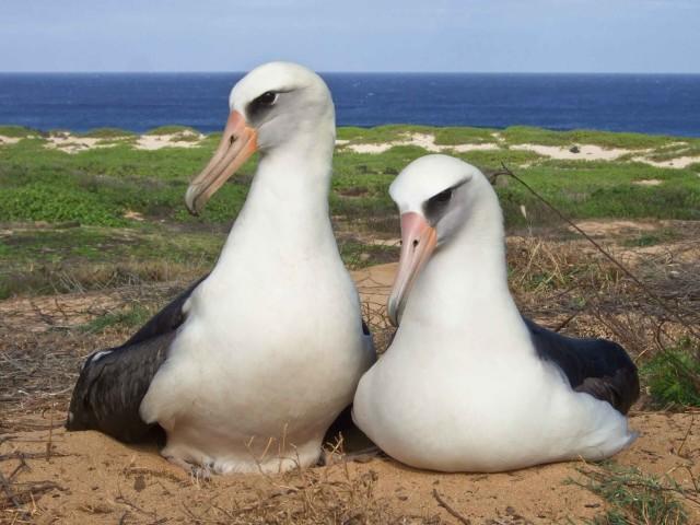 Albatrosses at Kaena Point