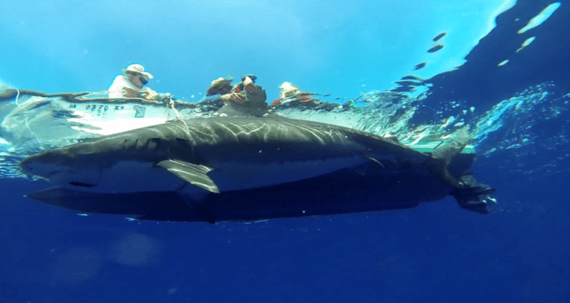 Researchers tag a tiger shark off of Maui.