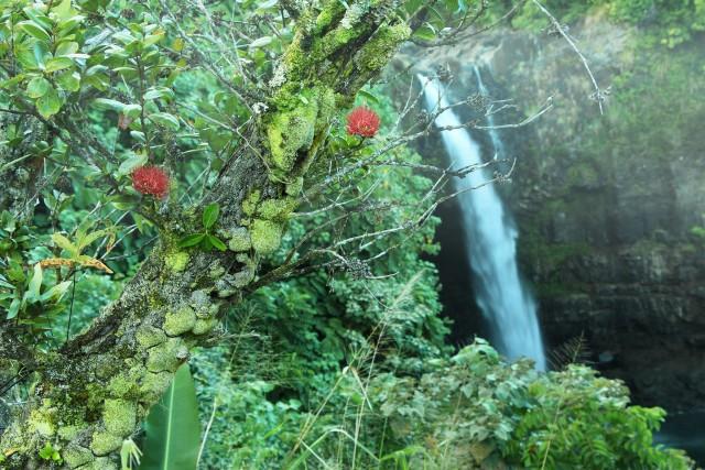Behind two Ohia blossoms, Waianuenue Falls drops 80 feet, in Wailuku River State Park, on the Big Island