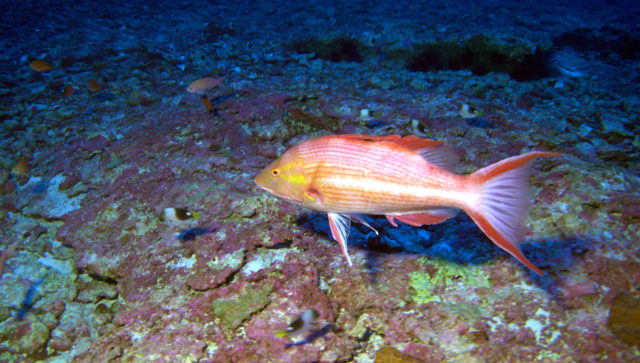A male Hawaiian Pigfish is seen at 320 feet at Kure Atoll, which is 1,300 miles northwest of Honolulu inside the boundaries of Papahanaumokuakea Marine National Monument.