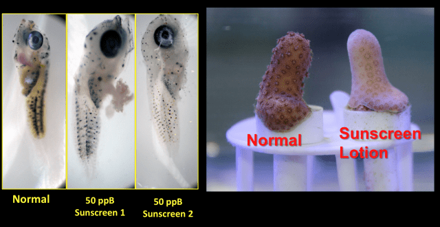 This slide shown during a panel discussion shows the effects of sunscreen with oxybenzone on a normal dottyback fish, at left, and coral, at right.