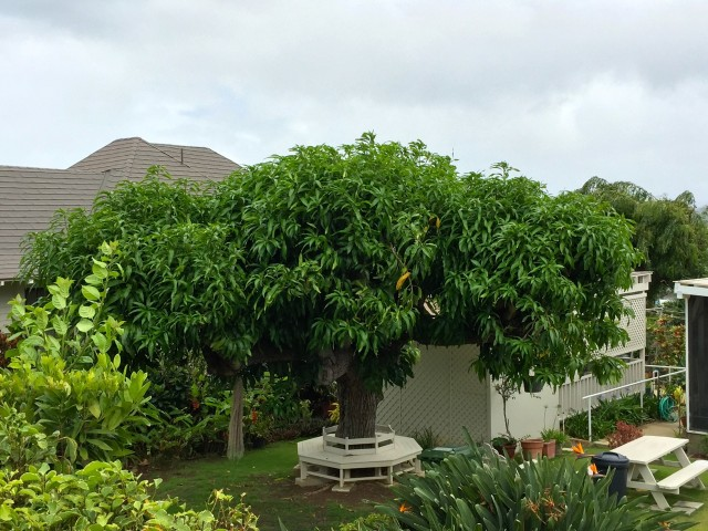 Fruit from mango trees, such as this one in a Kapahulu back yard, often are shared with friends and neighbors.