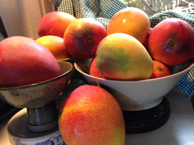 These are a few of the more than 200 mangoes that fell into columnist Denby Fawcett's yard from a neighbor's tree three years ago.