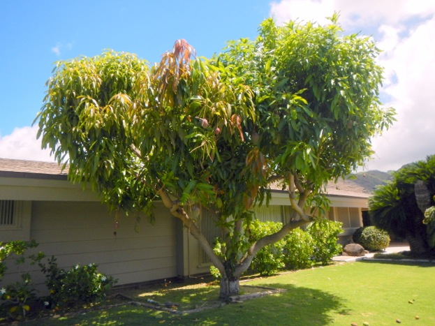 Fewer homes on Oahu are retaining backyard mango trees, such as this one behind a home in Kahala.
