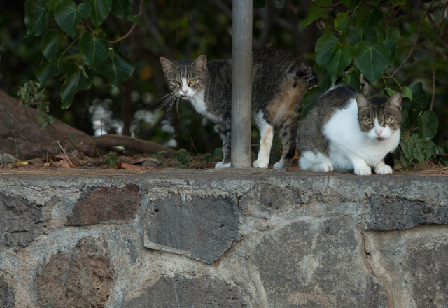Free-roaming cats peek out from the brush in a park-and-ride in Hawaii Kai.