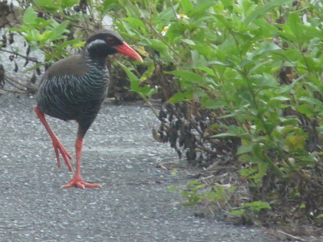 The Okinawan rail (Yanbaru kuina) is an iconic but elusive bird that conservationists want to protect from development.