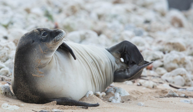 A 2-month-old Hawaiian monk seal rests on Oahu's north shore. At least eight monk seals have died from toxoplasmosis, a disease that's spread through cat feces.