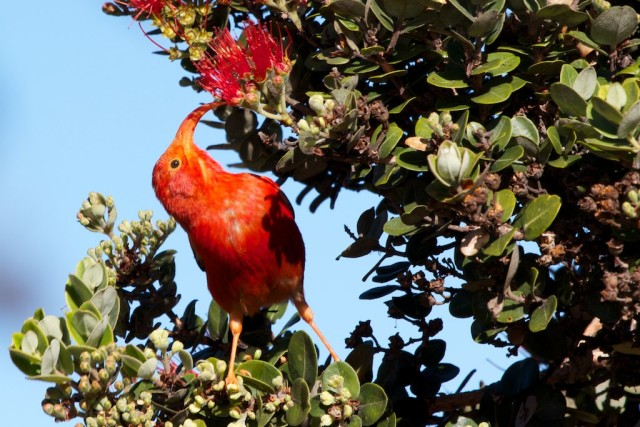 An iiwi feeds on the lehua blossom of the ohia tree in Hakalua Forest Reserve.