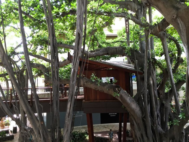 The treehouse in the giant banyan tree at the International Market Place remains intact and attracts shoppers to the second level.